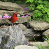 Cardinalis cardinalis – Northern cardinal -  in pond 4