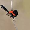 Red-backed Fairy Wren, The Spit, Gold Coast. Qld.