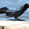 Great-tailed Grackles Are Really Noisy