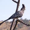 Corythaixoides leucogaster – White Bellied Go-Away Bird 1