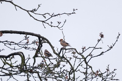 Hawfinch at Shaw Newbury overcast raining and 150 yards