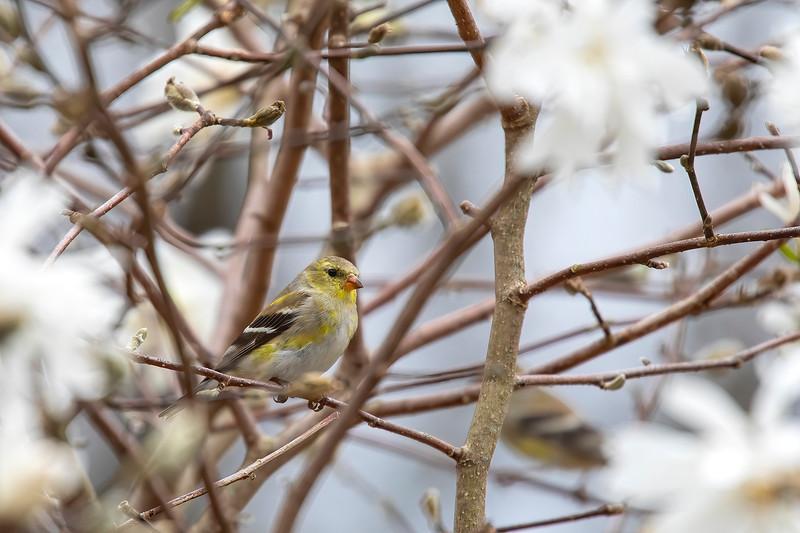 Goldfinch 69A6498