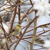 Goldfinch 69A6498