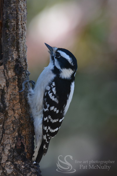 Downy Woodpecker Bird Picture