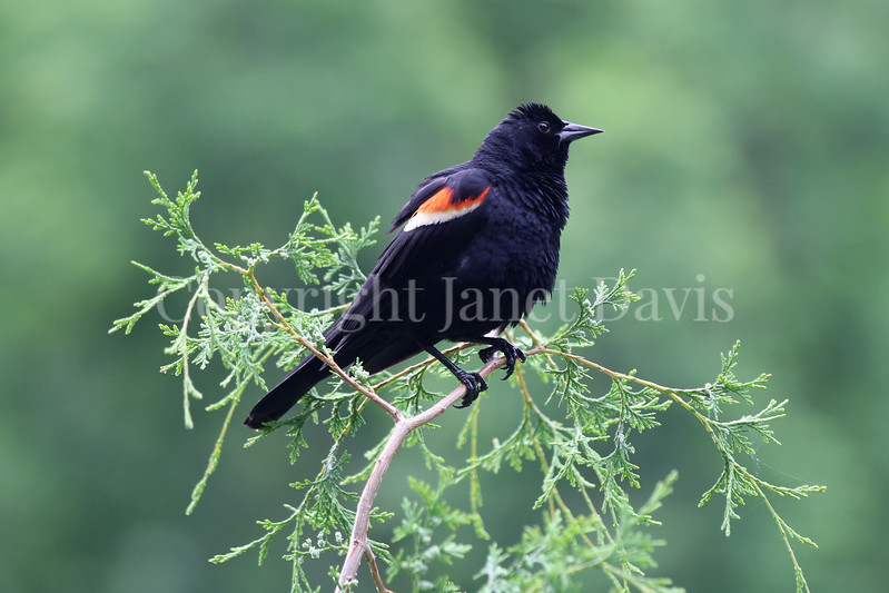 Agelaius phoeniceus – Red winged blackbird male 1
