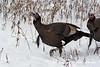 Wild Turkeys foraging in winter