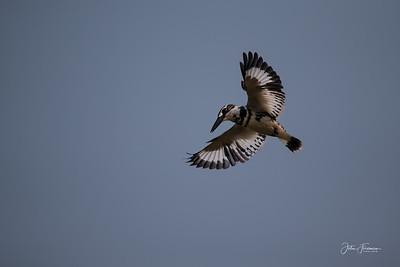 Pied Kingfisher, Chambal River