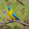 Turquoise Parrot,male_7831
