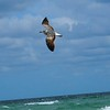 Capturing a Seagull in flight along Hollywood Beach in Fort Lauderdale, Florida