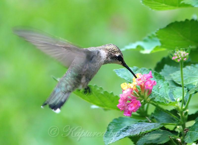 Lantana Hummingbird View 2