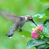 Lantana Hummingbird View 2