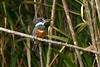 Ringed Kingfisher #1