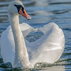Oct 18-2017 Whooper swan - Lille Lungegårdsvann , Bergen