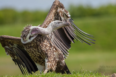 Vulture on land with twisted long neck and head turned. Ruppells griffon vulture.