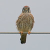 Female Kestrel On A Cold Windy Day