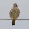 Female Kestrel On A Cold Windy Day