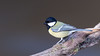 Great tit / Parus major / Koolmees