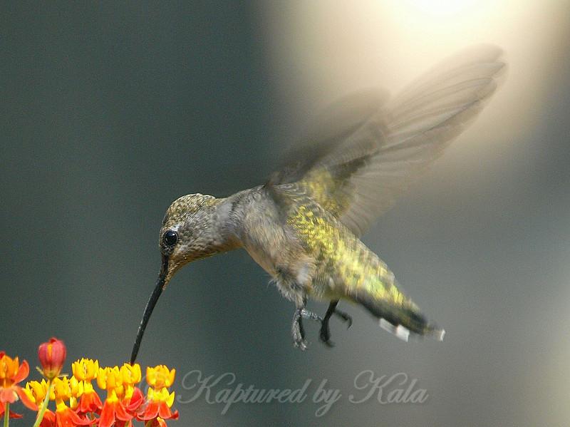 Hummingbirds Like Milkweed View 1