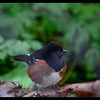 Spotted Towhee On Guard