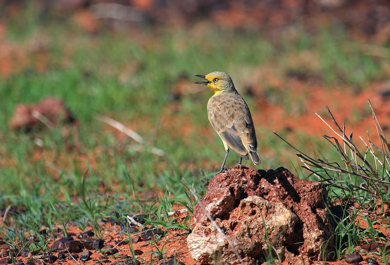 Gibberbird 2