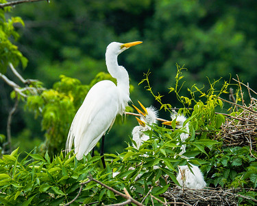 Great White Egret, Ardea alba
