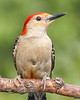 Red Bellied woodpecker, just resting...