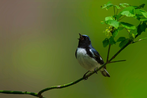 Black Throated Blue Warbler Sings to Delight