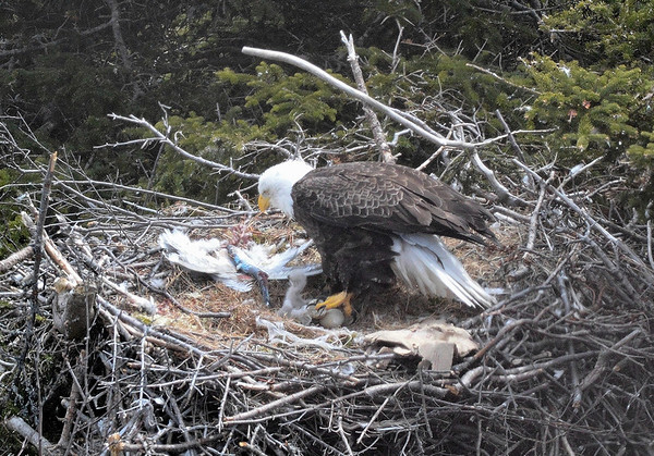 Bald Eagle with newborn chicks, one egg not hatched