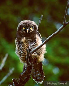 Hawk Owl in Alaska