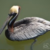 Pelican Bird Photo