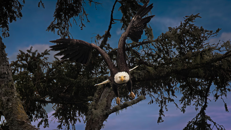 Eagle full on