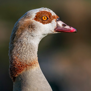 Egyptian goose mom :-)