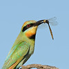 Rainbow Bee-eater with a Dragonfly, The Federation Walk Nature Reserve, Gold Coast. Qld.
