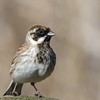A Reed Bunting at Farmoor 13th March 2017