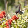 Calypte anna | Anna's hummingbird | Annakolibri