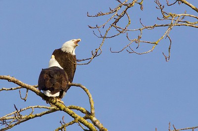 Bald Eagles at Steigerwald Wildlife Refuge