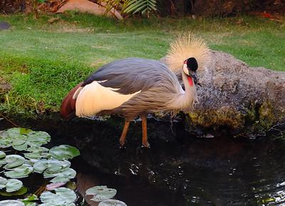 East Africa Crowned Crane