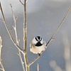 One Chickadee