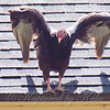 Turkey Vulture Intimidation Display