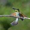 Rainbow Bee-eater with Dragonfly, Federation Walk, Gold Coast, Queensland.