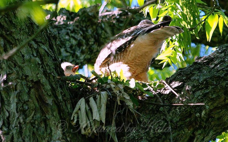 Baby Hawk Takes A Big Bite View 2