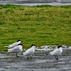 The More the Better—Caspian Terns ~ Hydroprogne caspia