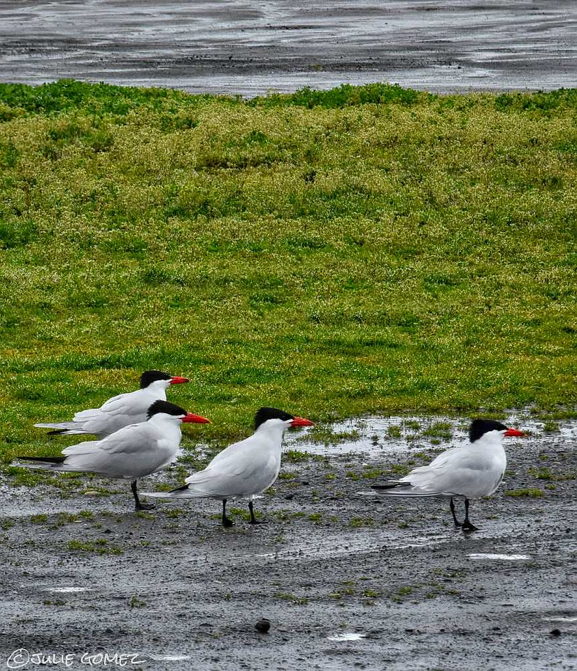 The More the Better—Caspian Terns ~ Hydroprogne caspia