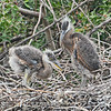 GREAT BLUE HERON CHICKS IN THEIR NEST.
