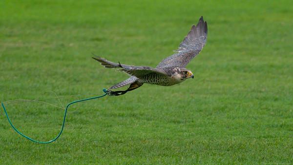 Tethered Gyrsaker Falcon cross with Peregrine Falcon 2 -  Northcroft Newbury