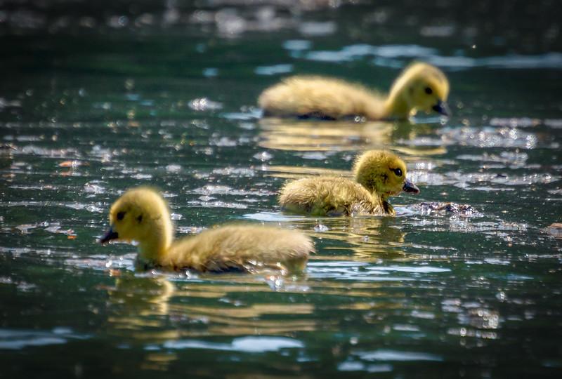 River Goslings