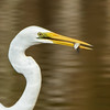 Eastern Great Egret, Schuster Park, Burleigh Heads, Queensland.