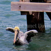 Pelecanus occidentalis - Brown pelican 1