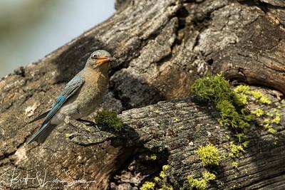 Female Mountain Bluebird with Moth