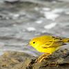 Yellow Warbler, Africa.
